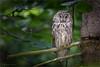 long-eared owl, asleep by klaus.huppertz