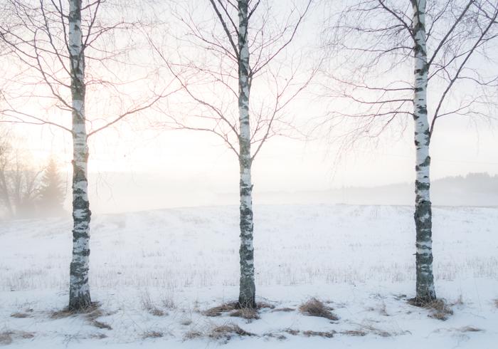 winter wonderland sumuinen maalaismaisema talvella rural koivu koivukuja