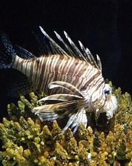 Lionfish #toronto #torontozoo #fish #lionfish #latergram
