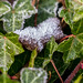 Icy leaves, alongside the Bridgewater Canal, Old Trafford