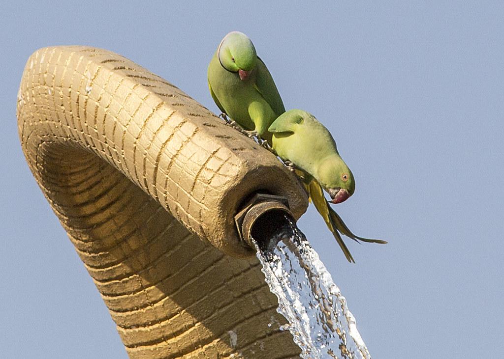 Rose-ringed ( Ring-necked) Parakeet
