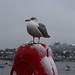Wintery seagull