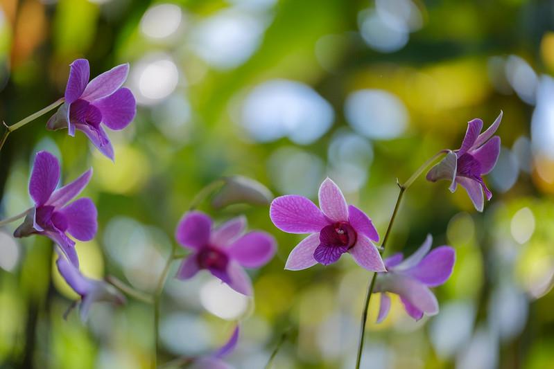 phalaenopsis 胡蝶蘭