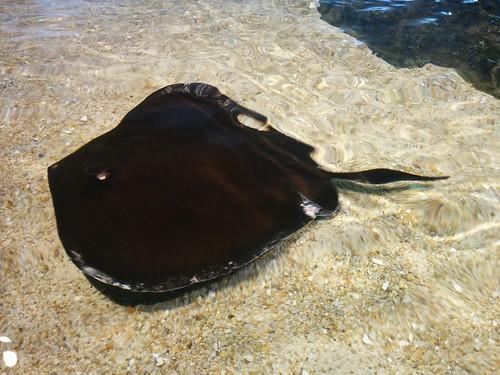 Black stingray #toronto #ripleysaquarium #aquarium #fish #black #stingray #rays #latergram
