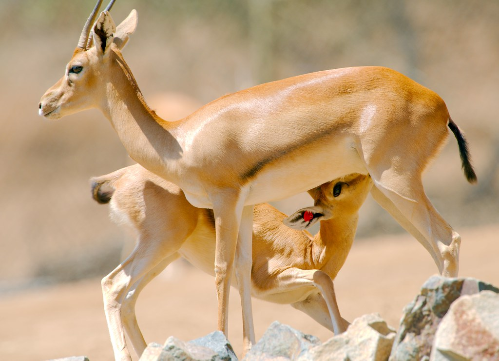 Sudan Red Fronted Gazelle_4
