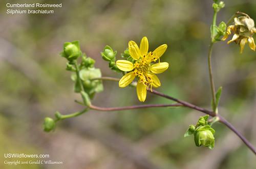 Cumberland Rosinweed - Silphium brachiatum