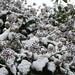 Snowy Plant