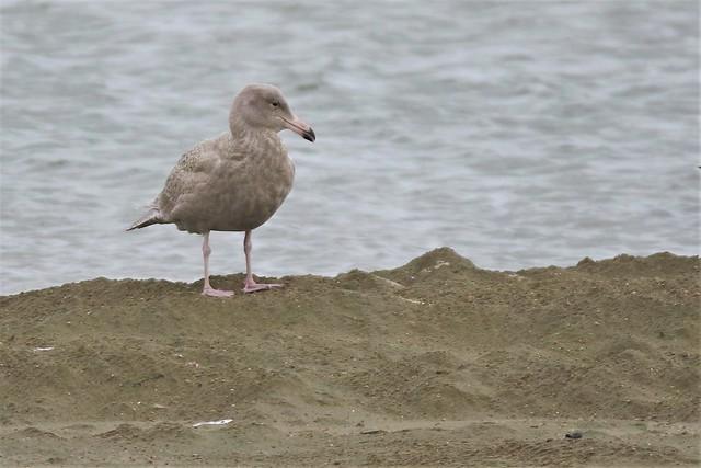 Glaucous gull Larus hyperboreus Dungeness RSPB