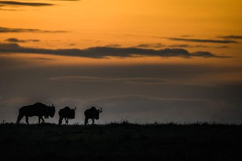 gnu kenya sunset ken sonnenuntergang narok kenia wildebeest masaimara