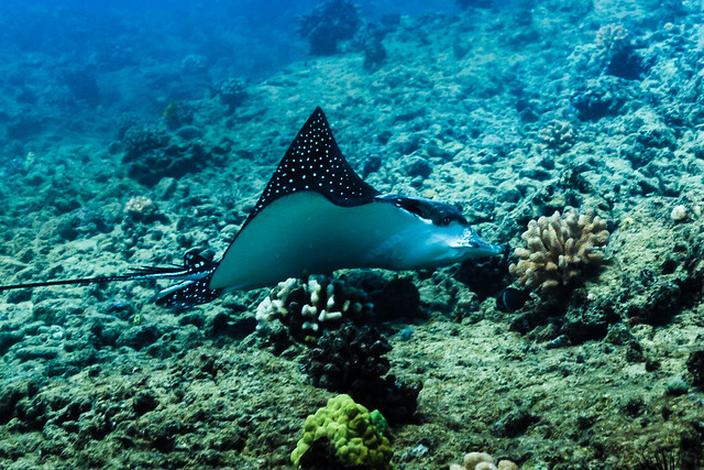 Eagle Ray profile || Oahu