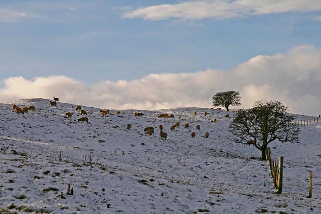 Snow n Sheep