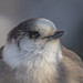 Portrait Mésangeai du Canada  -  Gray Jay  -