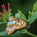 Butterfly #57.