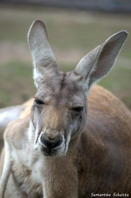 Red kangaroo, Pairi Daiza, Nikon D3200, AF-S DX VR Nikkor 55-300mm 4.5-5.6G ED