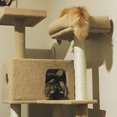 We got the girls a cat tree for Xmas. I think they like it.