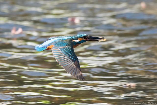 20171225-kingfisher-DSC_2422