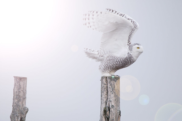 Snowy Owl preparing for lift off