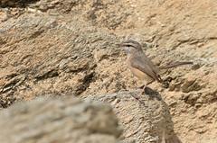 Dromoïque du désert - Masafi Wadi/Fujairah/UAE_20170113_074-1