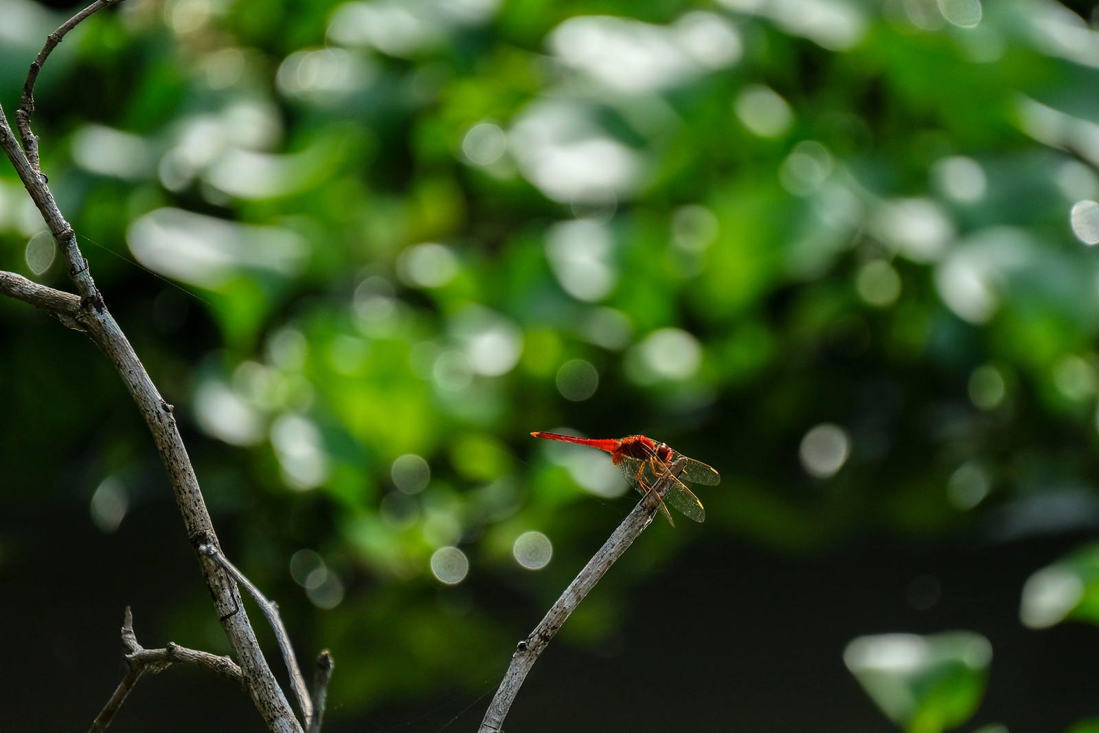Common_Scarlet_rocothemis Servilia (猩紅蜻蜓)_DSCF5991