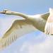 Mute swan (female)