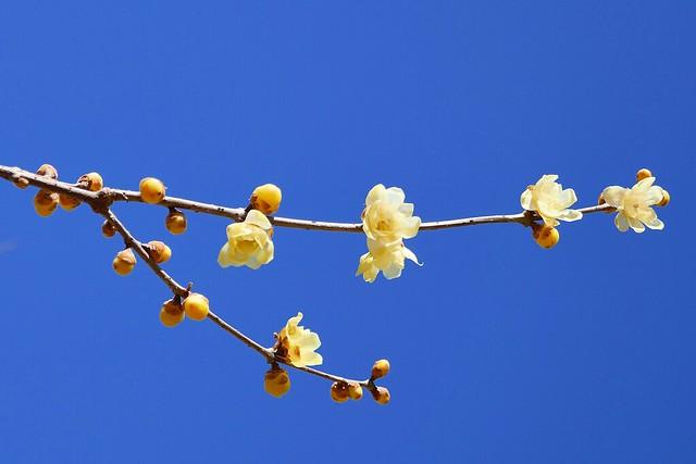 Nagatoro_Wintersweet_(2018_01_02)_2_resized_1 蝋梅の木の枝を撮影した写真。 左から右へ向かって枝が伸び、途中で2本に枝分かれしている。 薄い黄色の花が幾つも咲いている。