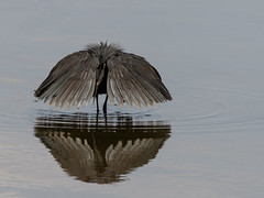 Black Egret Fishing Technique