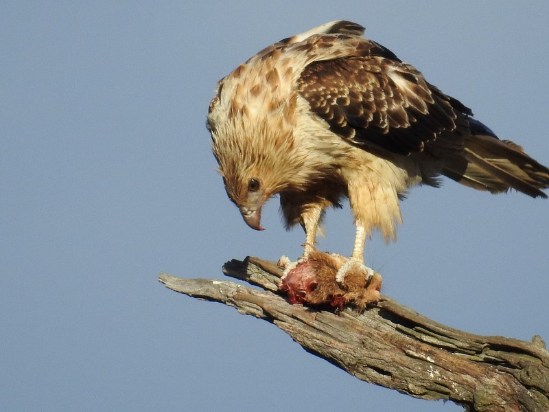 Whistling Kite with prey