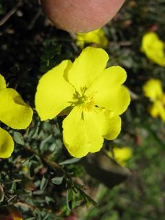 Hibbertia diffusa flower 5 DC