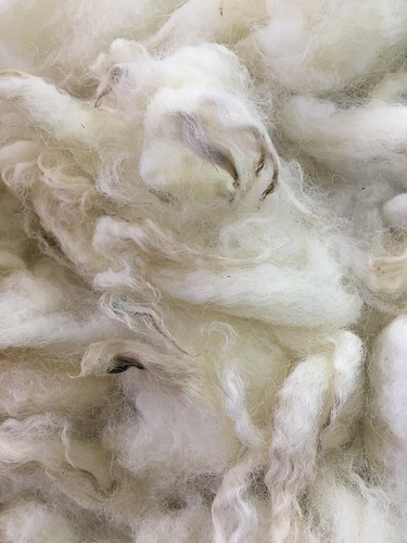 Lopez Island wool, washed