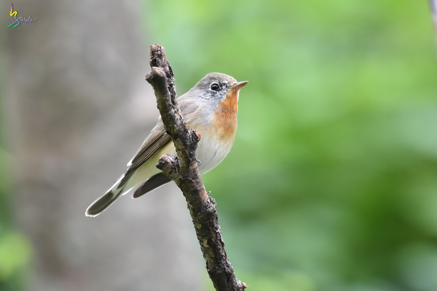Red-breasted_Flycatcher_1118