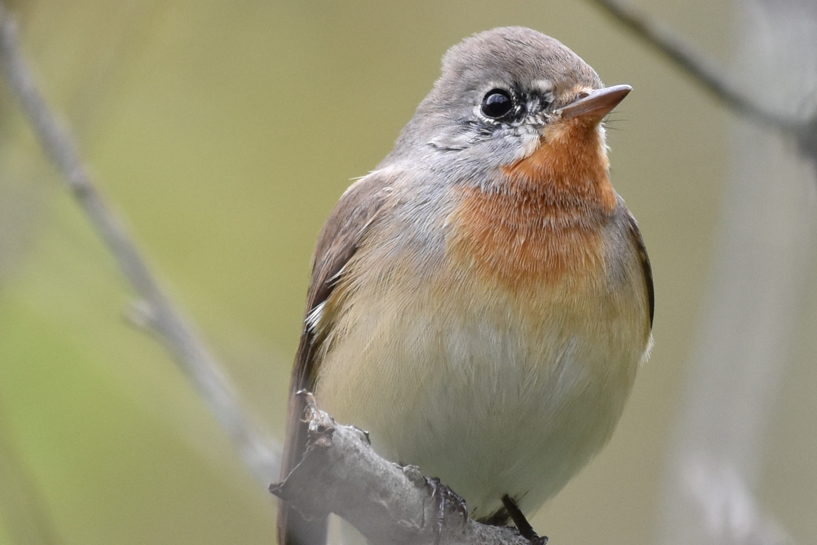 Red-breasted_Flycatcher_0937_O
