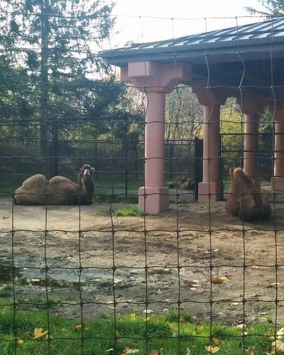 Camels (1) #toronto #torontozoo #camel #latergram