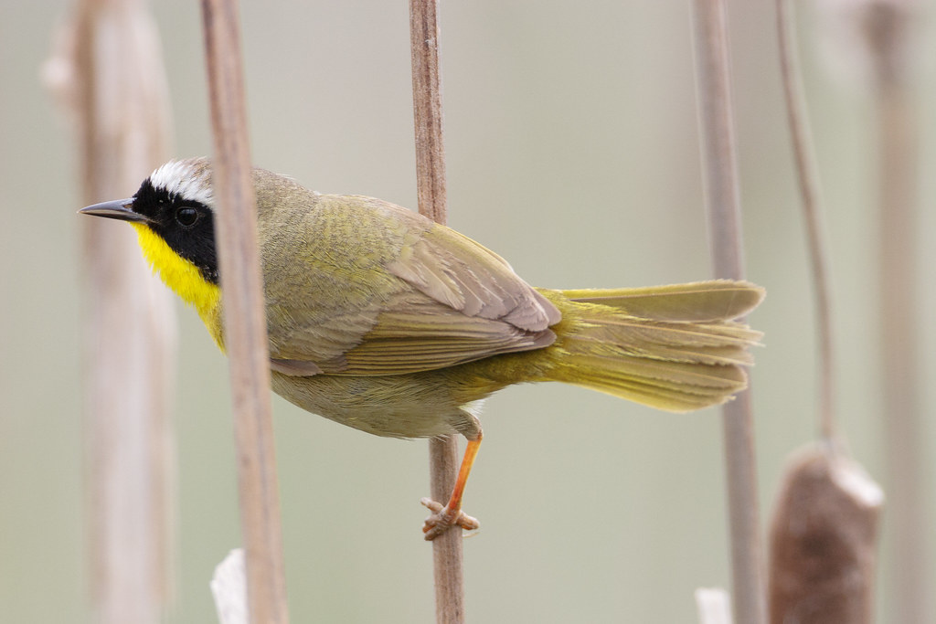 A common yellowthroat perches in cattails at Ridgefield National Wildlife Refuge