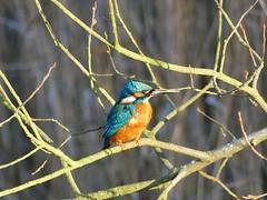 Kingfisher P1510917