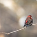 House Finch Perched at Lambton Woods