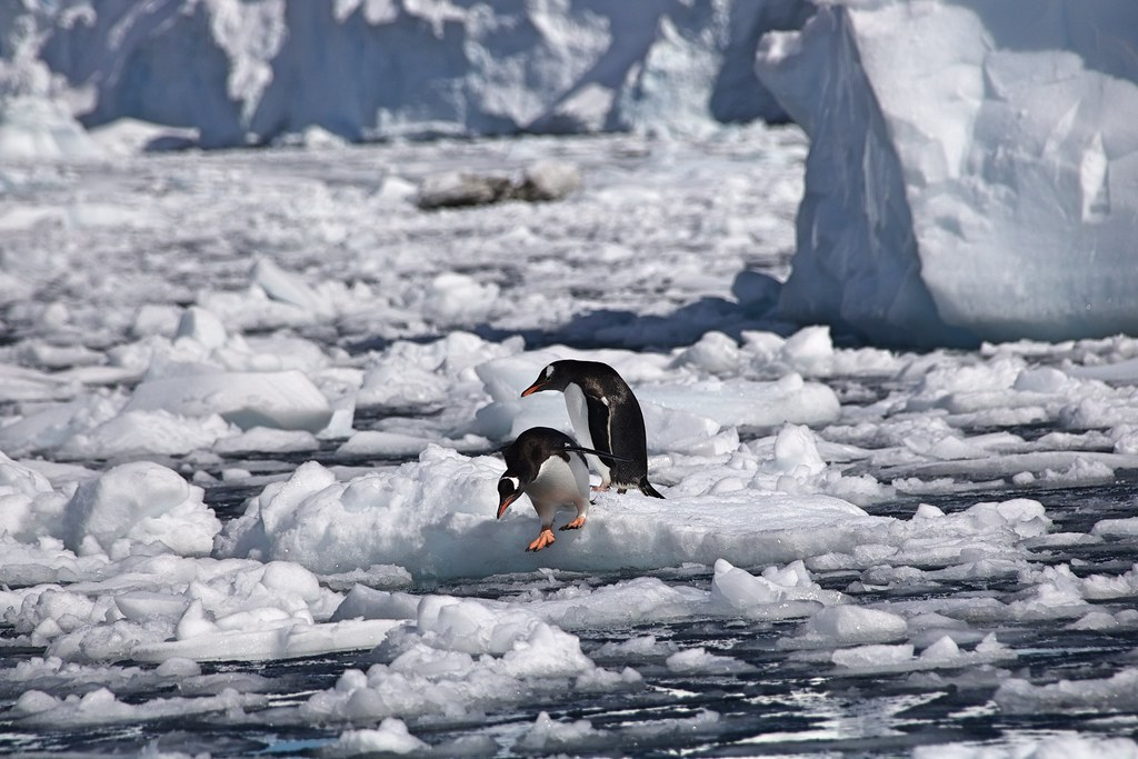 Waiting for the right moment (gentoo penguins)