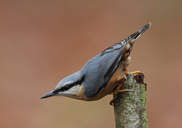 Nuthatch 9694, Canon EOS-1D X, Canon EF 500mm f/4L IS II USM