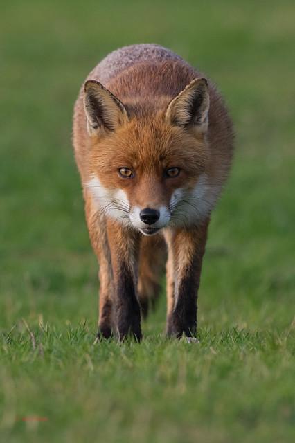 12 fox - Best2017