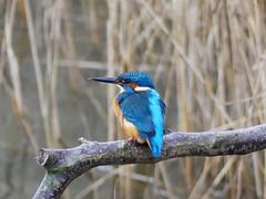 Kingfisher P1530168