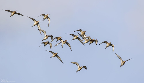 Black-Tailed Godwits on the descent