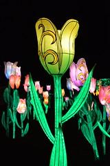 Tulipe01