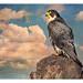 Peregrine Falcon ~ Rock and Hawk by Johnrw1491