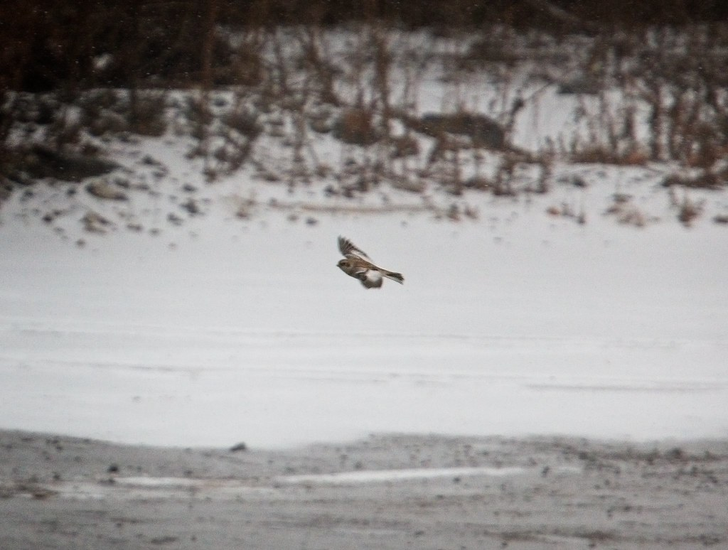 Snow bunting on Governors Island