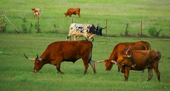 The famous longhorns of Texas