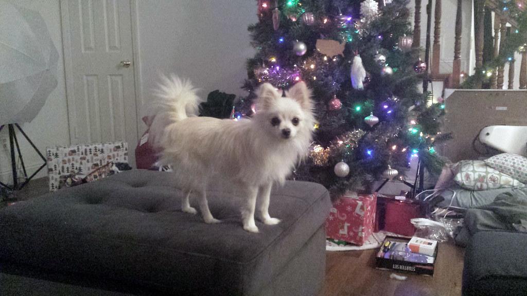 Temmie, LilyPichu's Pomeranian