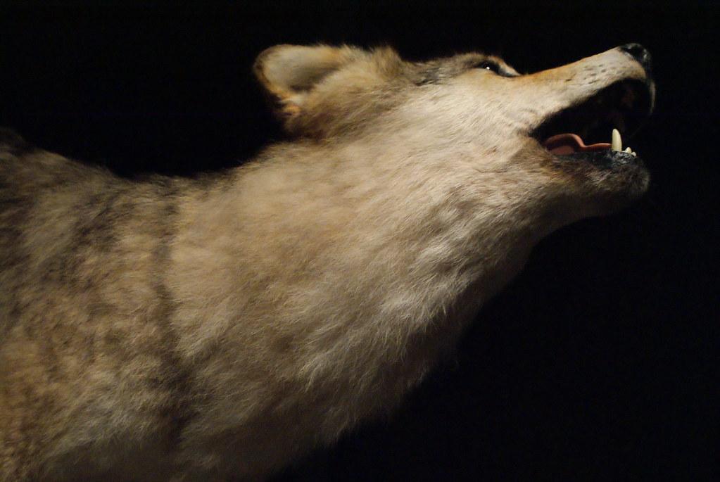 > Loup empaillé hurlant dans un silence assourdissant - Musée des Confluences à Lyon.