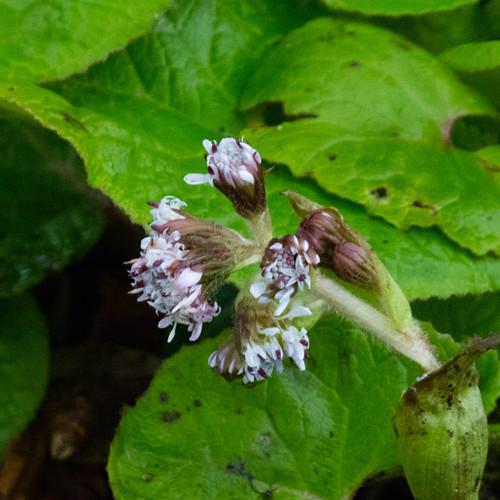 Butterbur flowering, late December