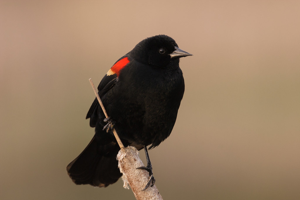A male red-winged blackbird perches on a cattail at Ridgefield National Wildlife Refuge