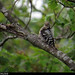 20150711_20 Woodpecker (lesser spotted woodpecker, Dryobates minor?) | Trail between Herrvik & Sysne, Gotland, Sweden