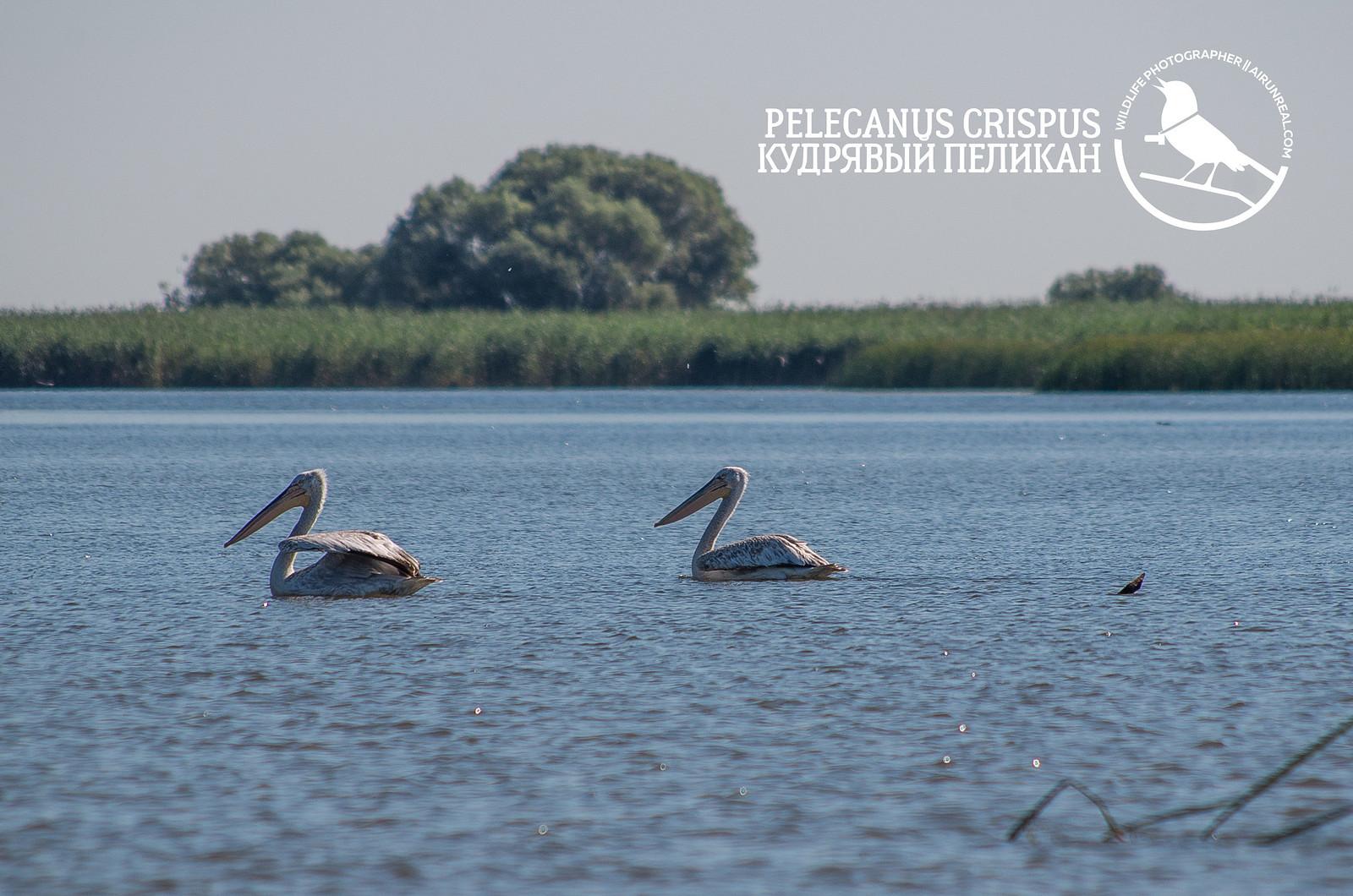 Pelecanus crispus // 20171220